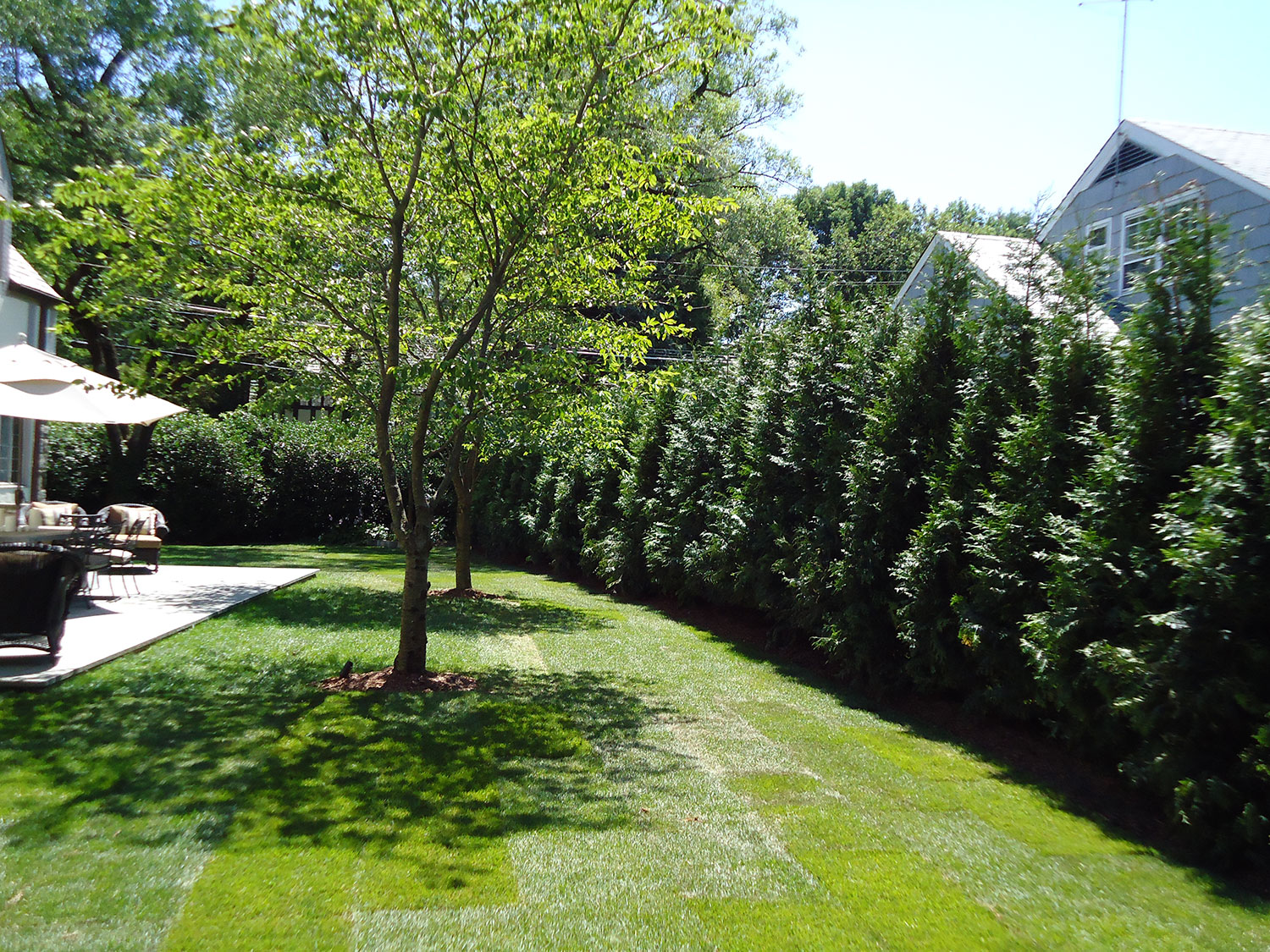 Evergreen screening, Green giant arborvitae, landscape design